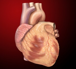 heart normal anterior view of exterior structures